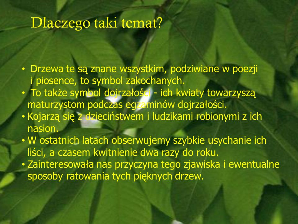 Dlaczego taki temat Drzewa te są znane wszystkim, podziwiane w poezji i piosence, to symbol zakochanych.