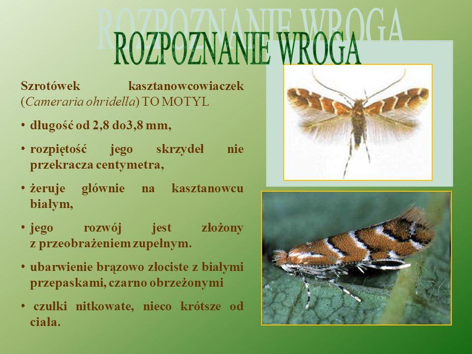 ROZPOZNANIE WROGA Szrotówek kasztanowcowiaczek (Cameraria ohridella) TO MOTYL. długość od 2,8 do3,8 mm,