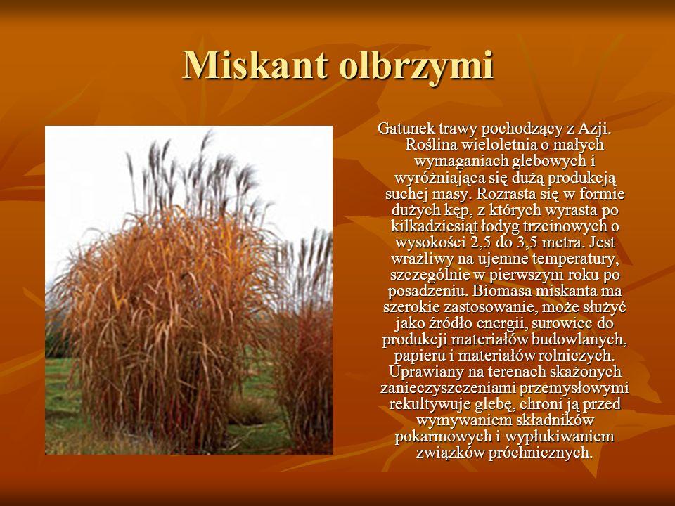 Miskant olbrzymi