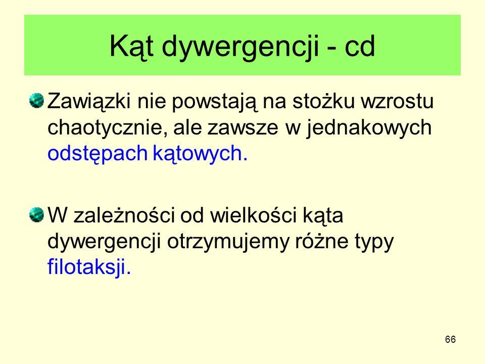 Kąt dywergencji - cd Zawiązki nie powstają na stożku wzrostu chaotycznie, ale zawsze w jednakowych odstępach kątowych.
