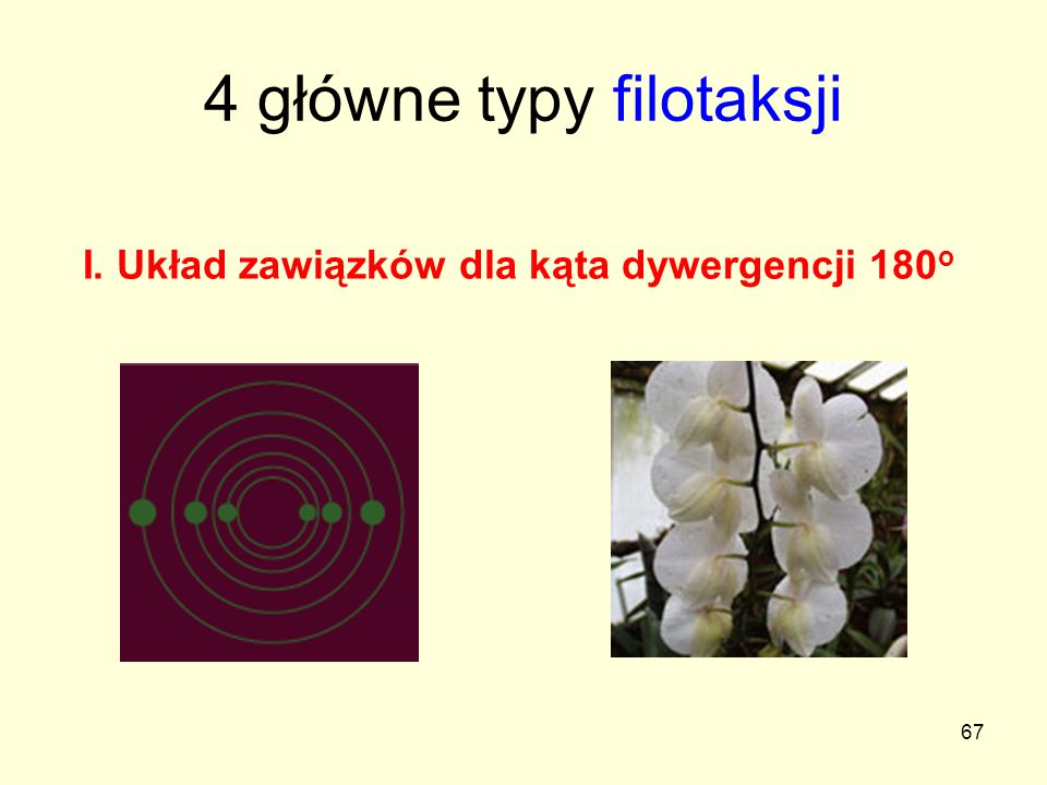 4 główne typy filotaksji