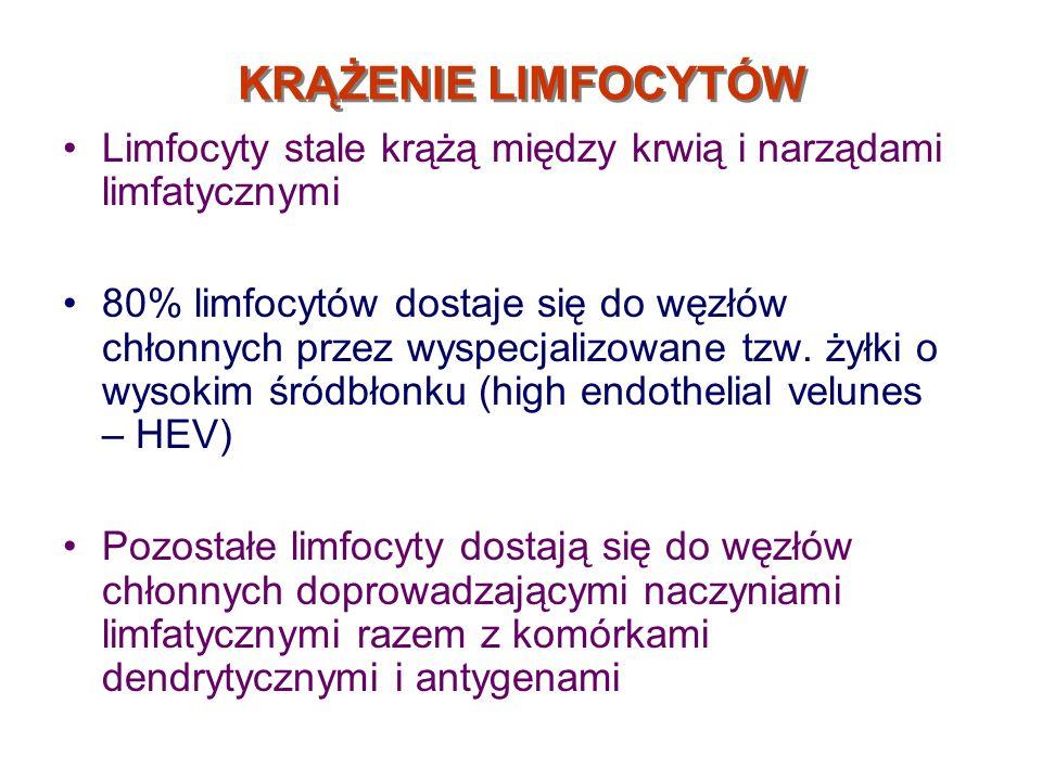 KRĄŻENIE LIMFOCYTÓWLimfocyty stale krążą między krwią i narządami limfatycznymi.