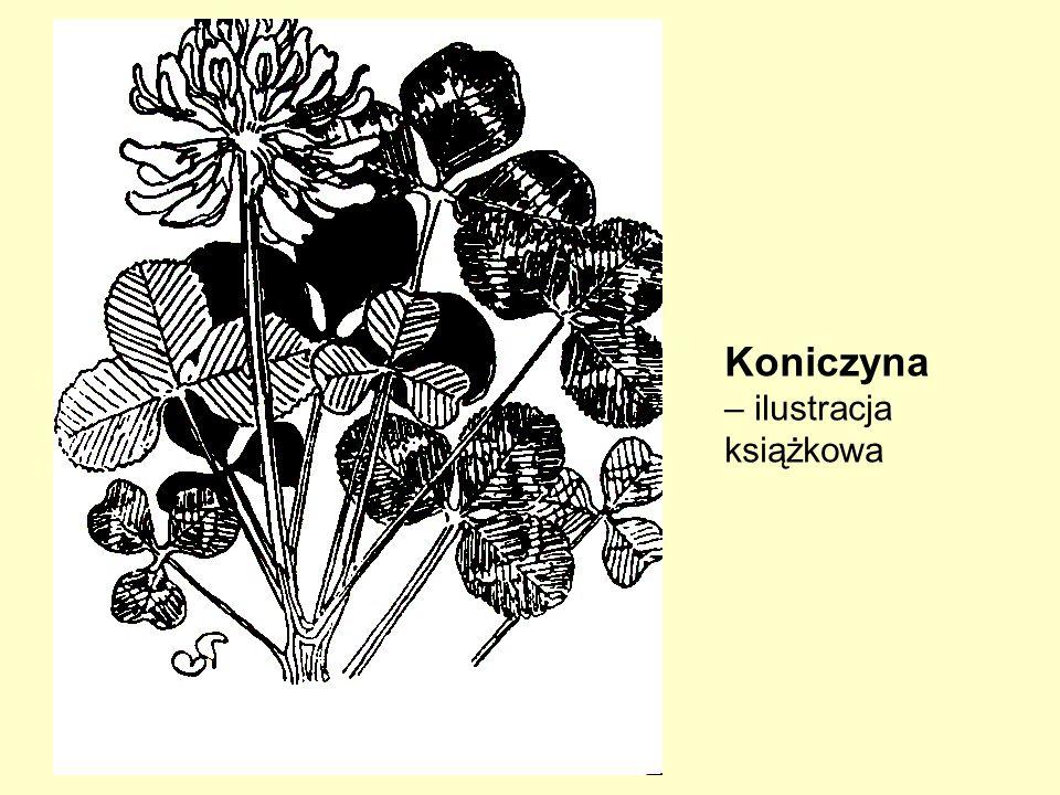 Koniczyna – ilustracja książkowa