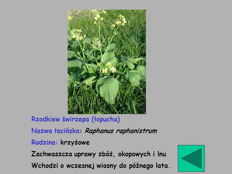 Rzodkiew świrzepa (łopucha)