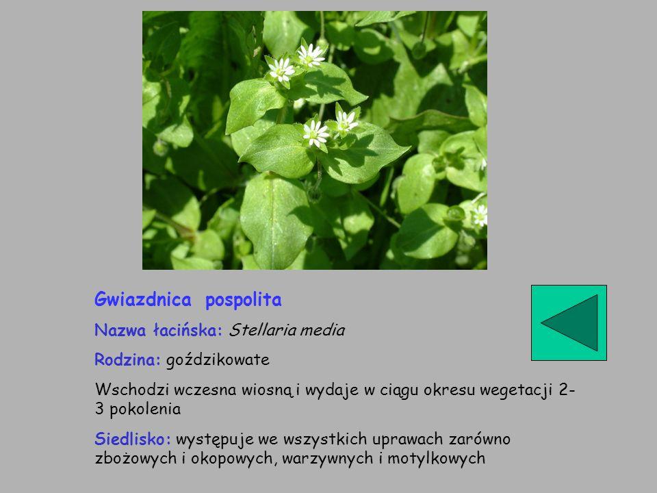 Gwiazdnica pospolita Nazwa łacińska: Stellaria media