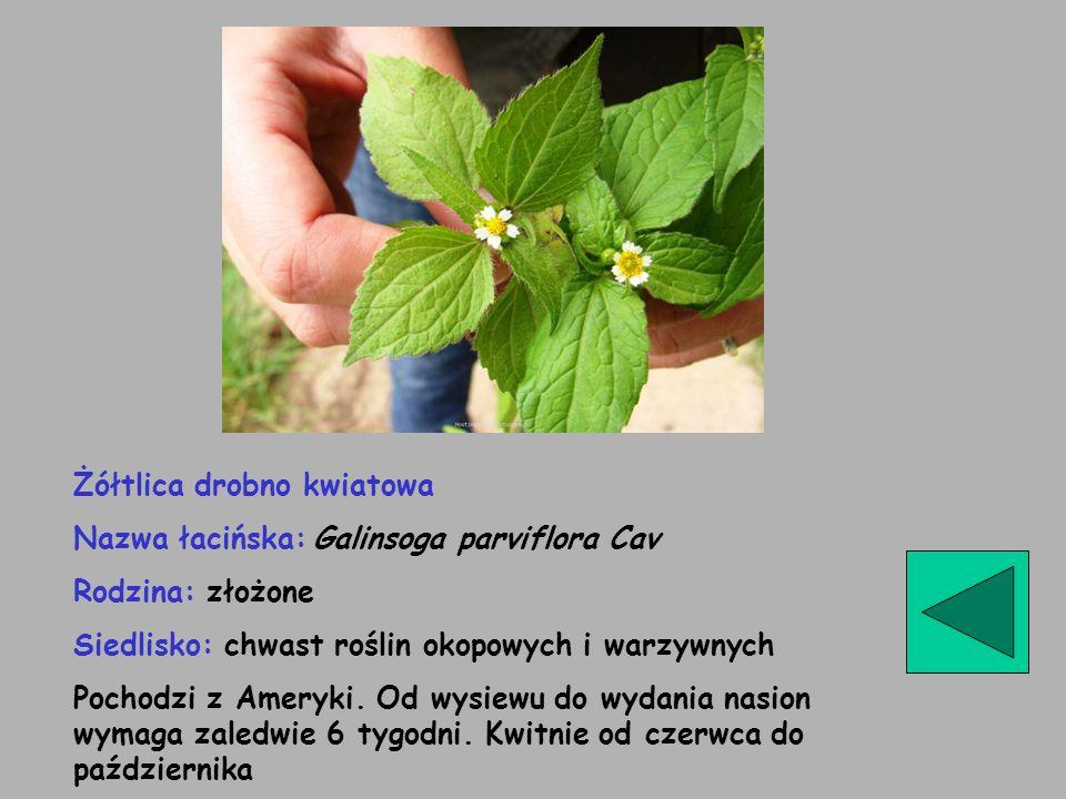 Żółtlica drobno kwiatowa