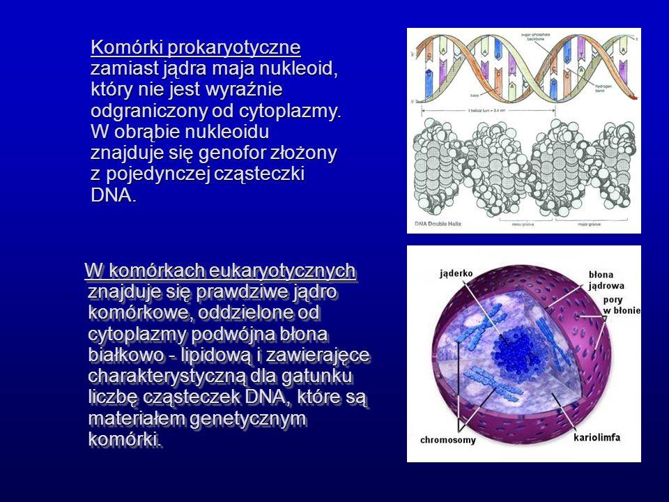 Komórki prokaryotyczne zamiast jądra maja nukleoid, który nie jest wyraźnie odgraniczony od cytoplazmy. W obrąbie nukleoidu znajduje się genofor złożony z pojedynczej cząsteczki DNA.