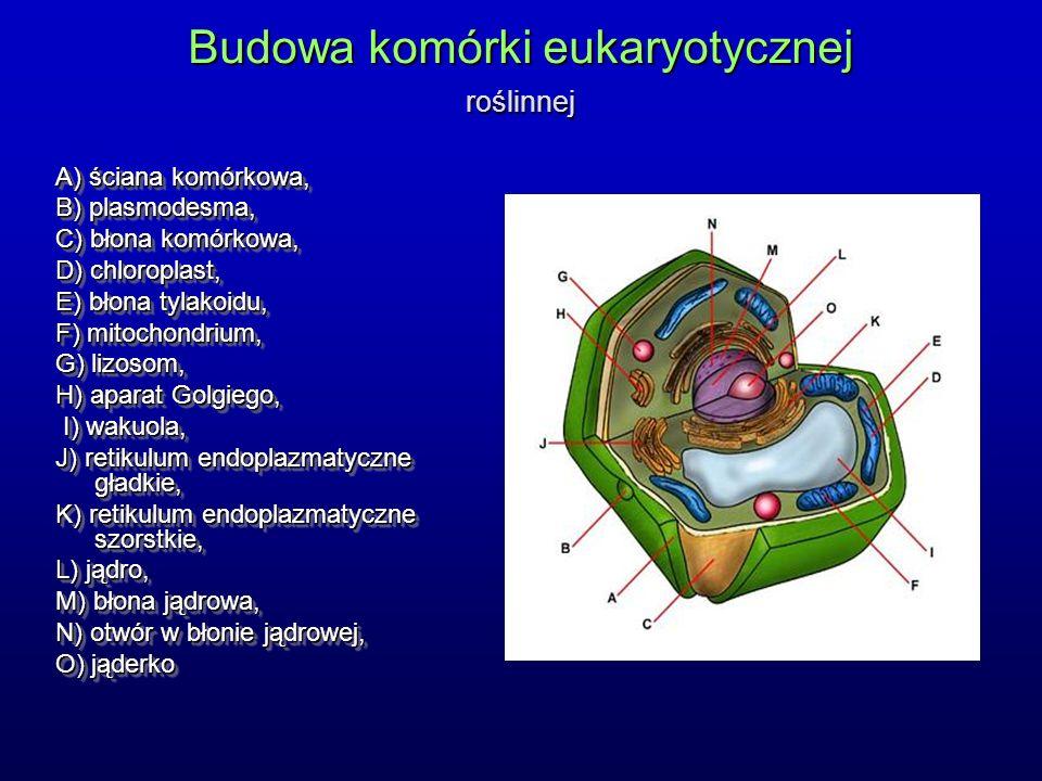 Budowa komórki eukaryotycznej