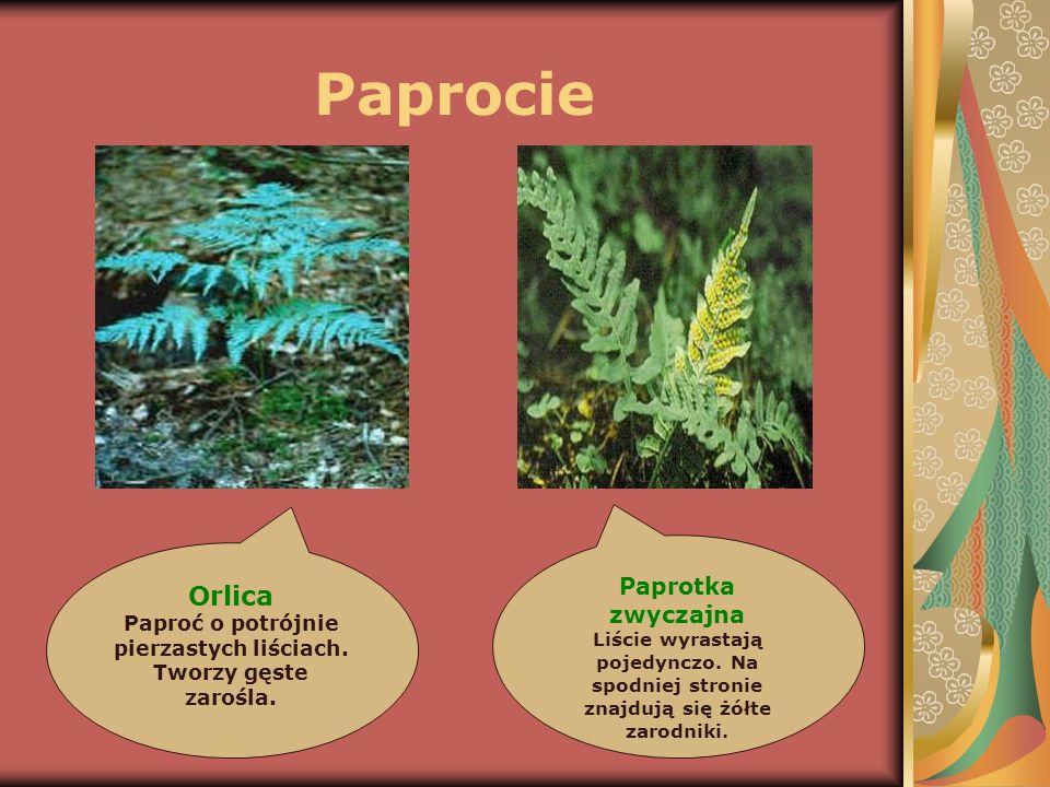 Paprocie Orlica Paprotka zwyczajna Paproć o potrójnie