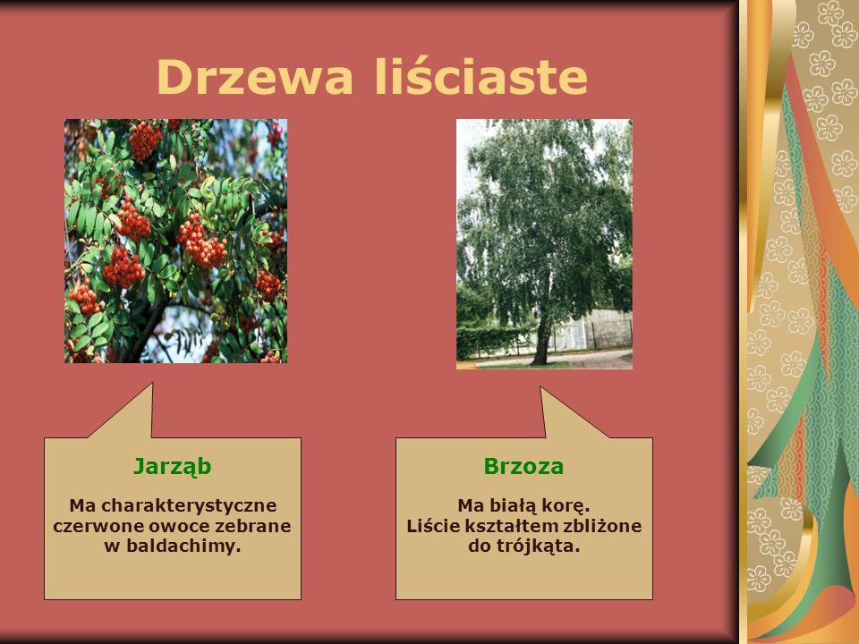 Drzewa liściaste Jarząb Brzoza