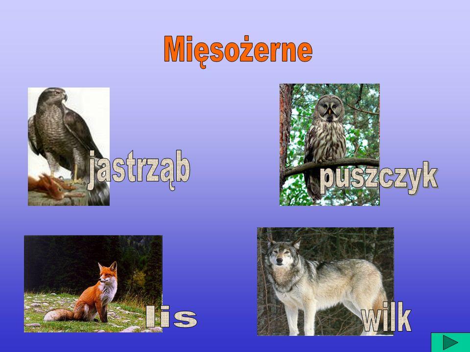Mięsożerne jastrząb puszczyk wilk lis