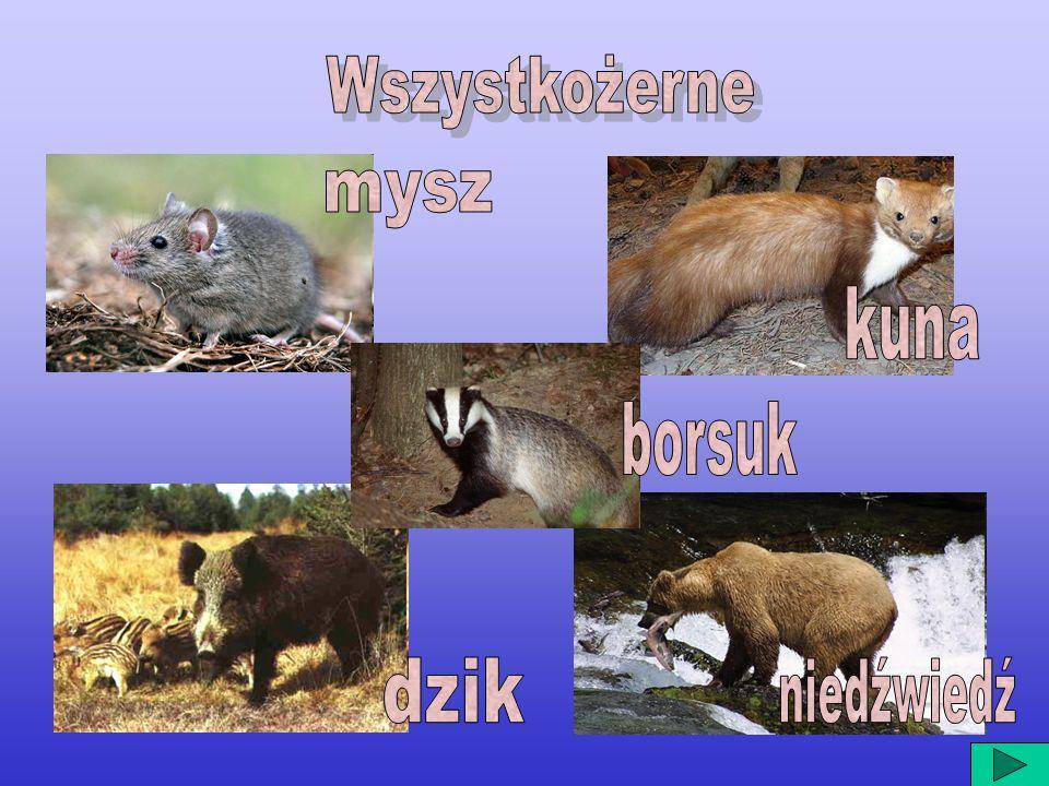 Wszystkożerne mysz kuna borsuk dzik niedźwiedź