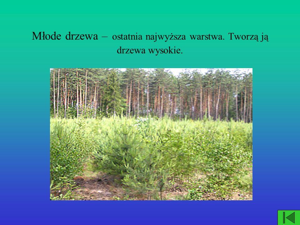 Młode drzewa – ostatnia najwyższa warstwa. Tworzą ją drzewa wysokie.