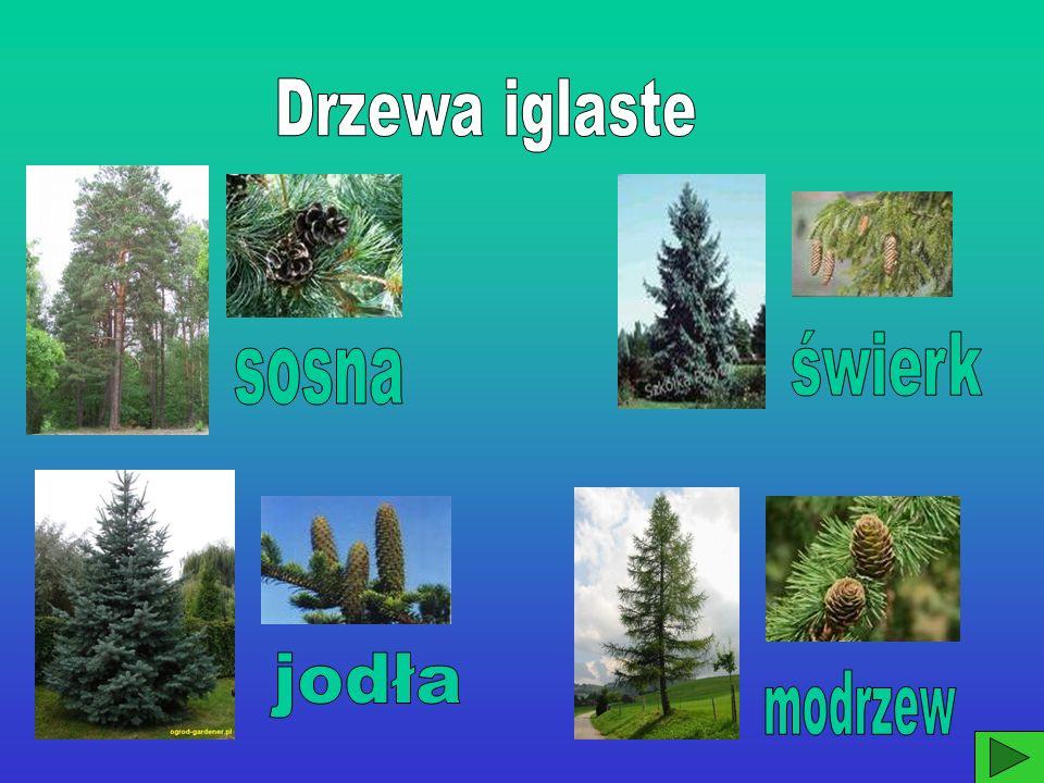 Drzewa iglaste świerk sosna jodła modrzew
