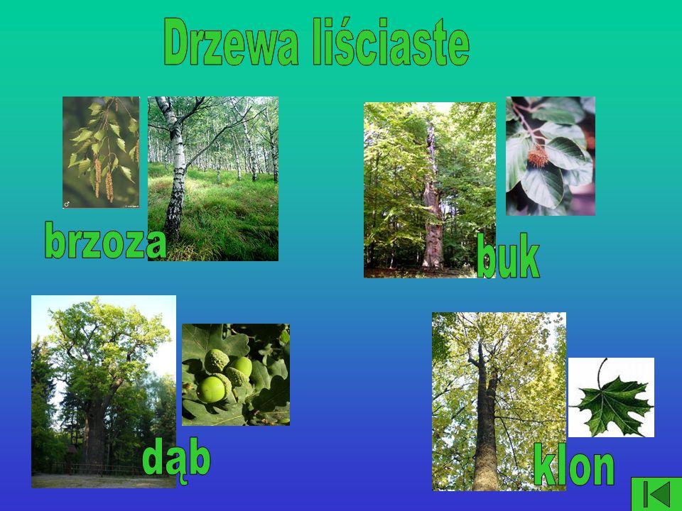 Drzewa liściaste brzoza buk dąb klon