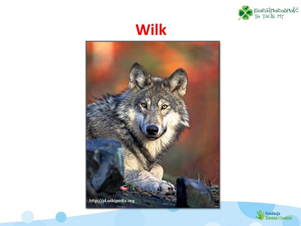 Wilk http://pl.wikipedia.org