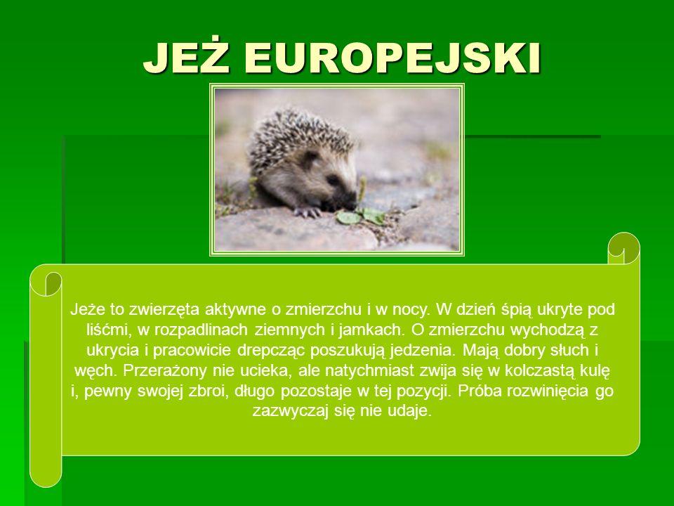 JEŻ EUROPEJSKI