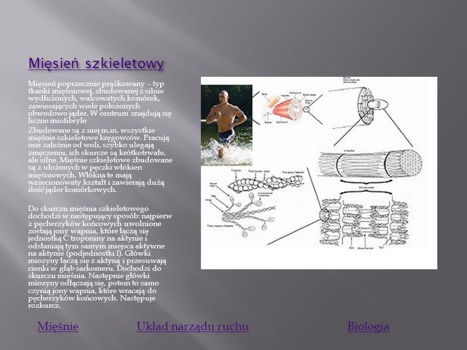 Mięsień szkieletowy Mięśnie Układ narządu ruchu Biologia