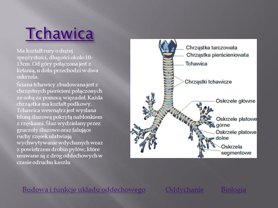 Tchawica Budowa i funkcje układu oddechowego Oddychanie Biologia
