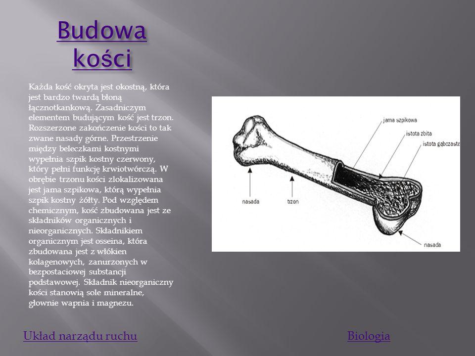 Budowa kości Układ narządu ruchu Biologia