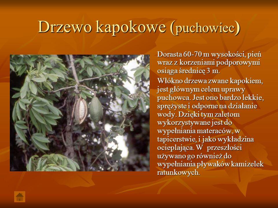 Drzewo kapokowe (puchowiec)