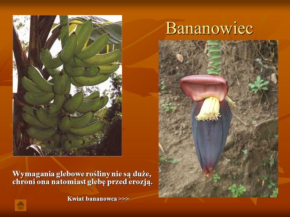 Bananowiec Wymagania glebowe rośliny nie są duże, chroni ona natomiast glebę przed erozją.