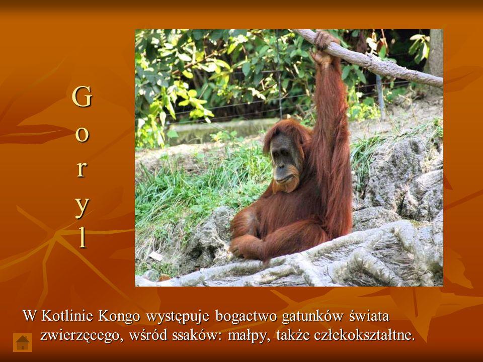 G o r y l W Kotlinie Kongo występuje bogactwo gatunków świata zwierzęcego, wśród ssaków: małpy, także człekokształtne.