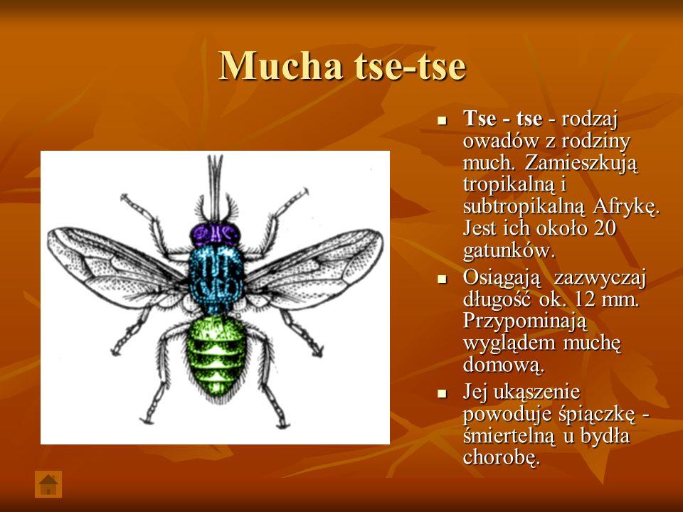 Mucha tse-tse Tse - tse - rodzaj owadów z rodziny much. Zamieszkują tropikalną i subtropikalną Afrykę. Jest ich około 20 gatunków.