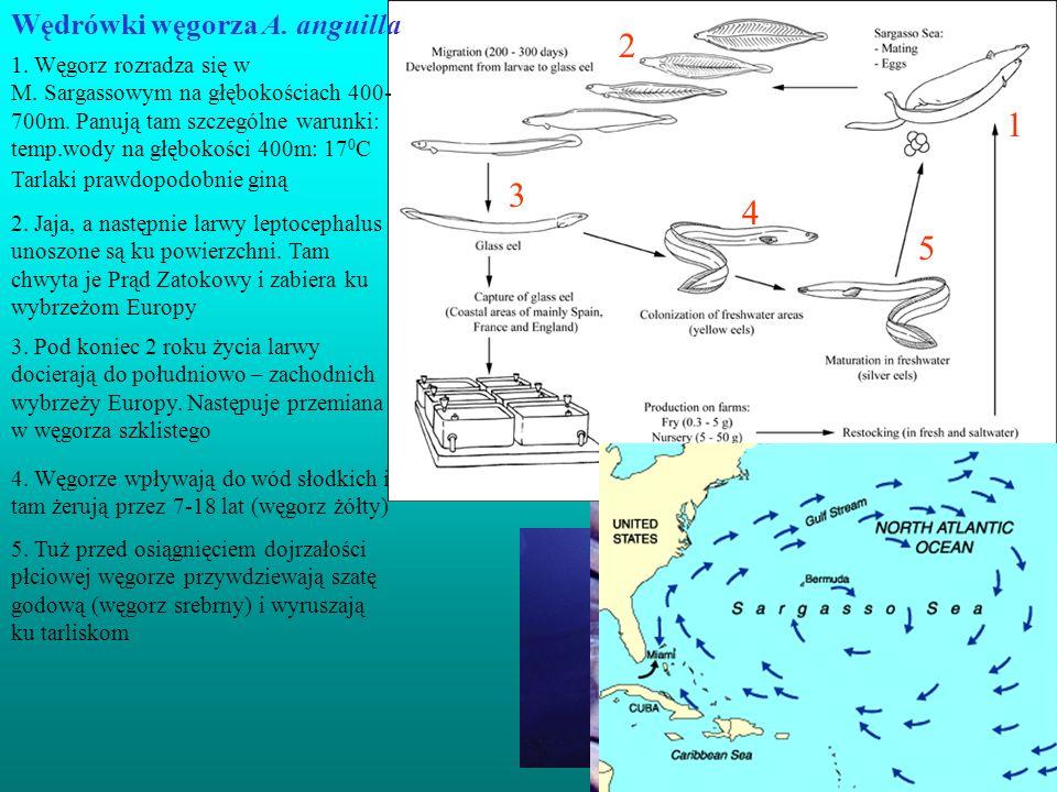2 1 3 4 5 Wędrówki węgorza A. anguilla Młode węgorze (25cm)