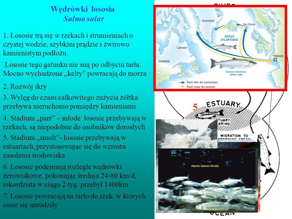 Wędrówki łososia Salmo salar
