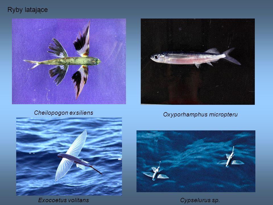 Ryby latające Cheilopogon exsiliens Oxyporhamphus micropteru