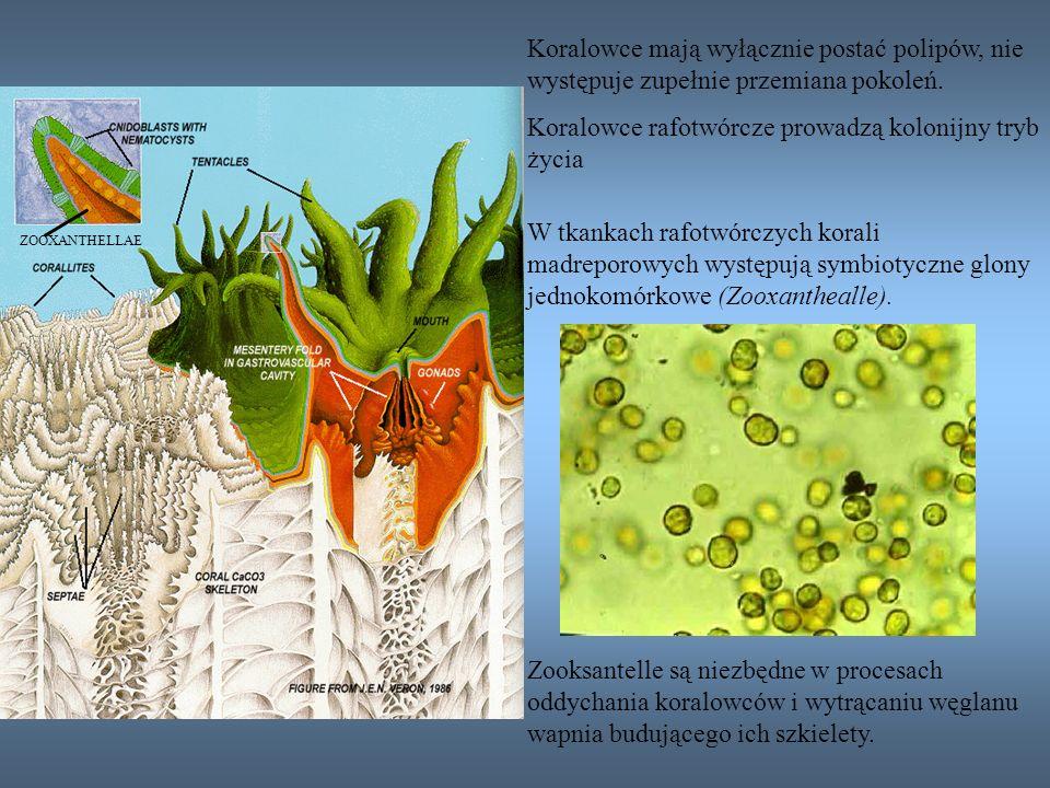 Koralowce rafotwórcze prowadzą kolonijny tryb życia