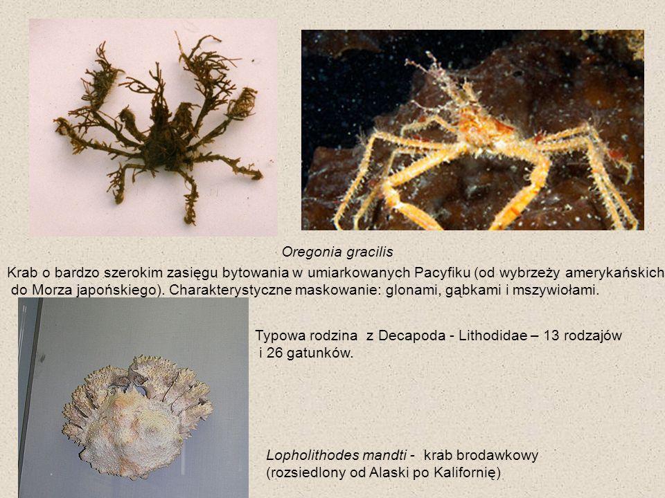 Oregonia gracilisKrab o bardzo szerokim zasięgu bytowania w umiarkowanych Pacyfiku (od wybrzeży amerykańskich.
