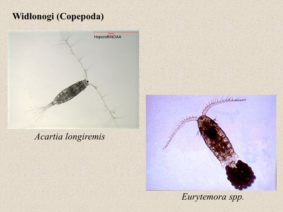Widłonogi (Copepoda) Acartia longiremis Eurytemora spp.