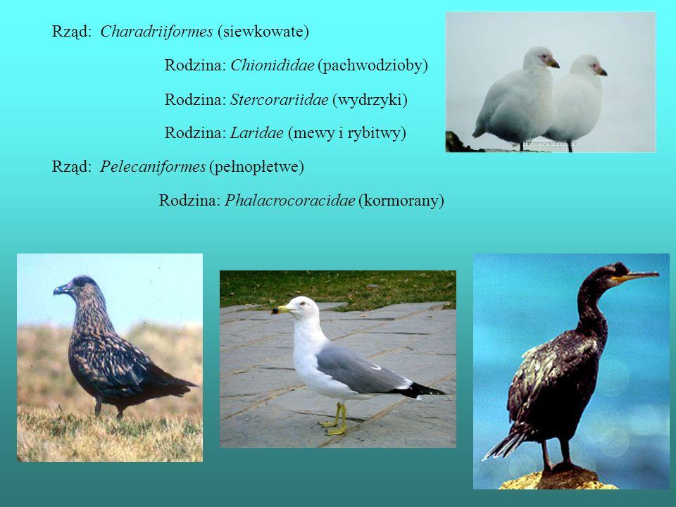 Rząd: Charadriiformes (siewkowate)
