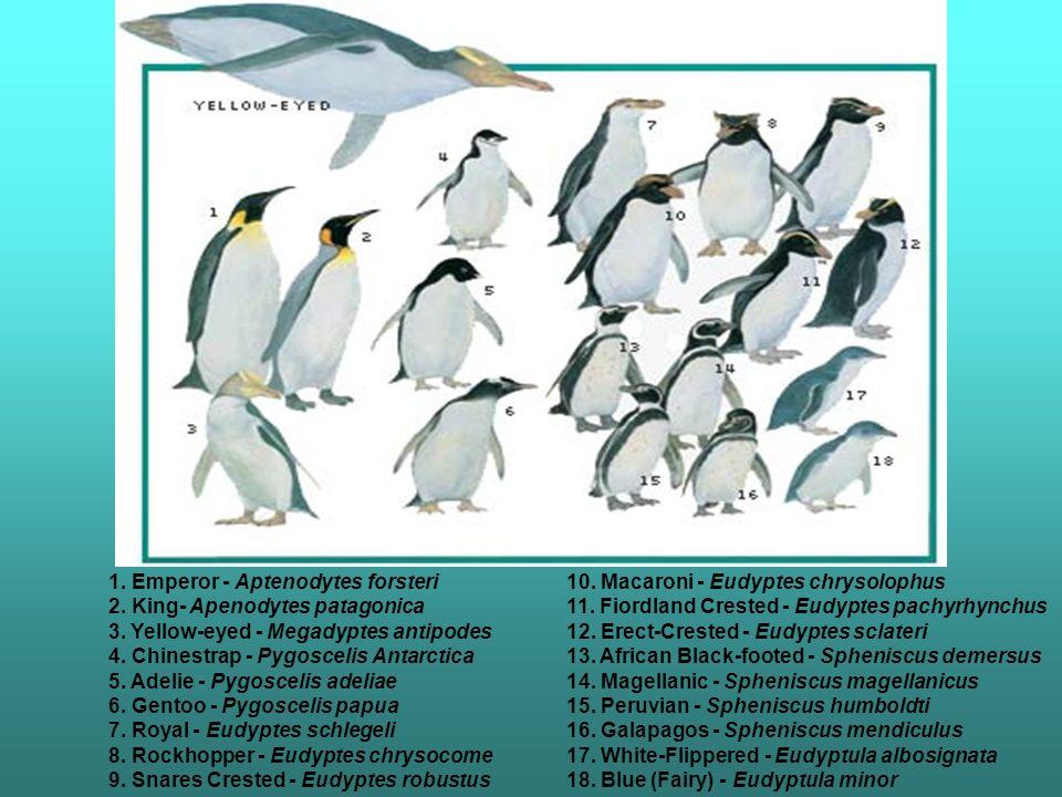 1. Emperor - Aptenodytes forsteri