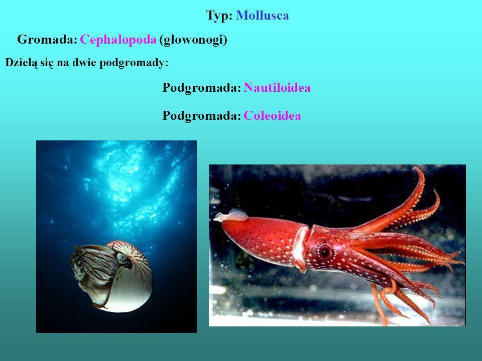 Gromada: Cephalopoda (głowonogi)