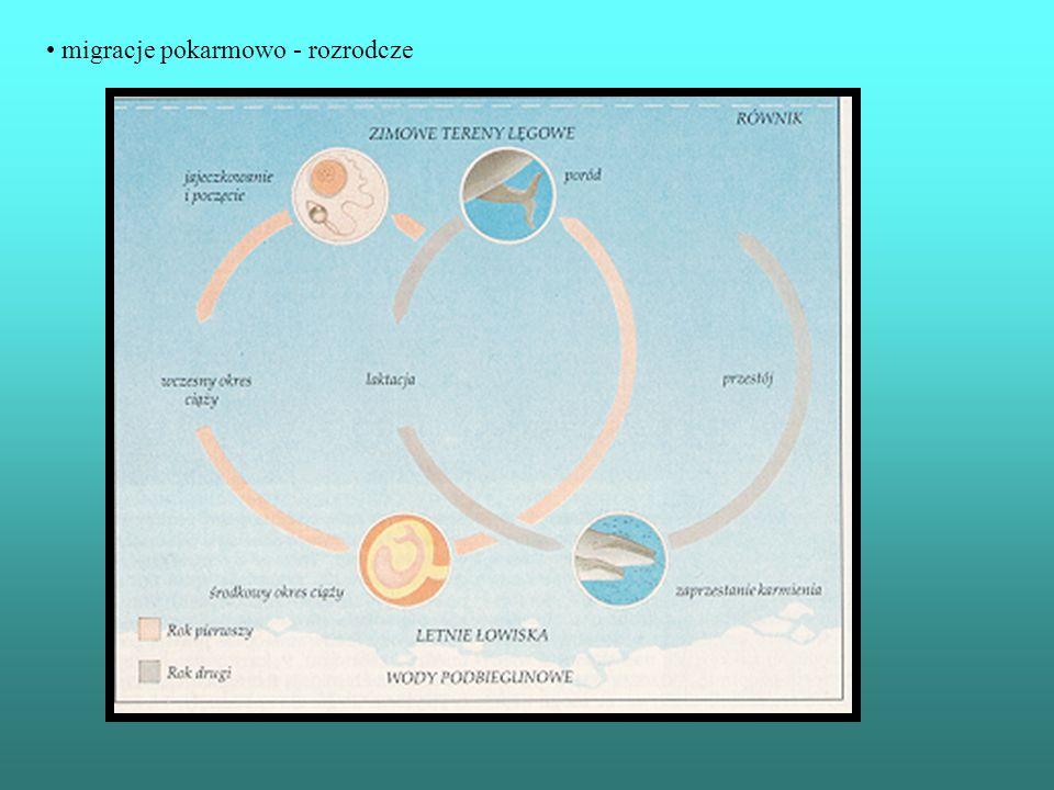 migracje pokarmowo - rozrodcze