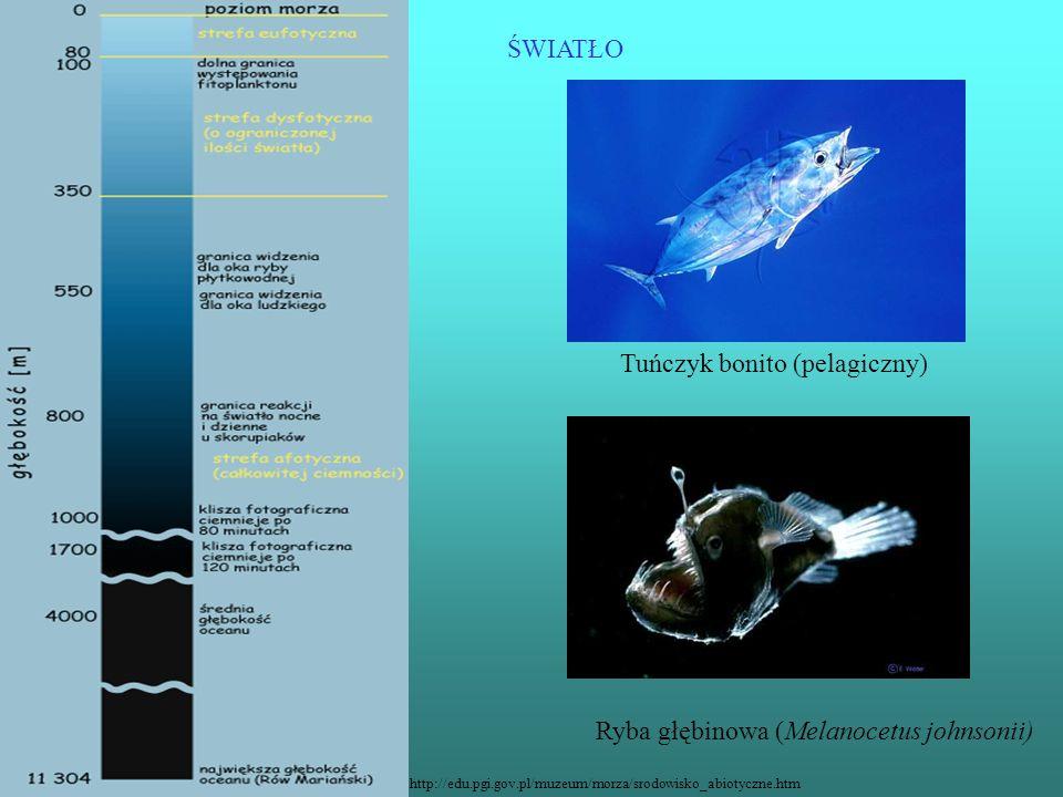 Tuńczyk bonito (pelagiczny)