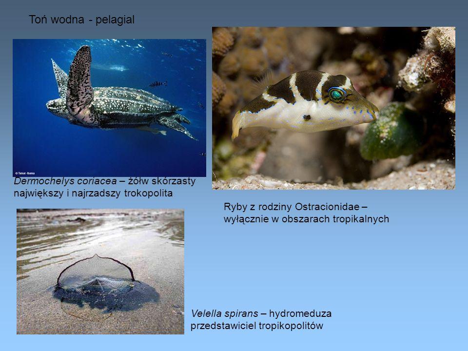 Toń wodna - pelagial Dermochelys coriacea – żółw skórzasty