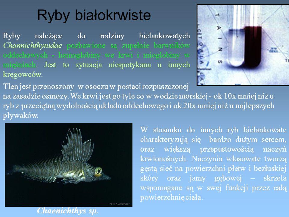 Ryby białokrwiste Chaenichthys sp.