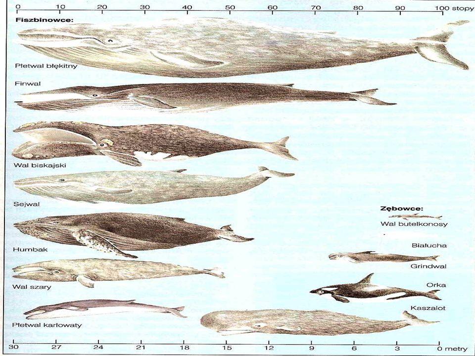 Gatunki poławiane: Kaszalot Płetwal błękitny Finwal Humbak