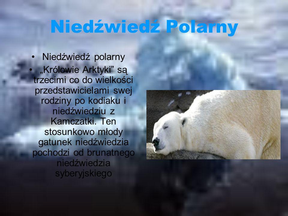 Niedźwiedź Polarny Niedźwiedź polarny