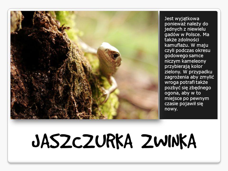 Jest wyjątkowa ponieważ należy do jednych z niewielu gadów w Polsce