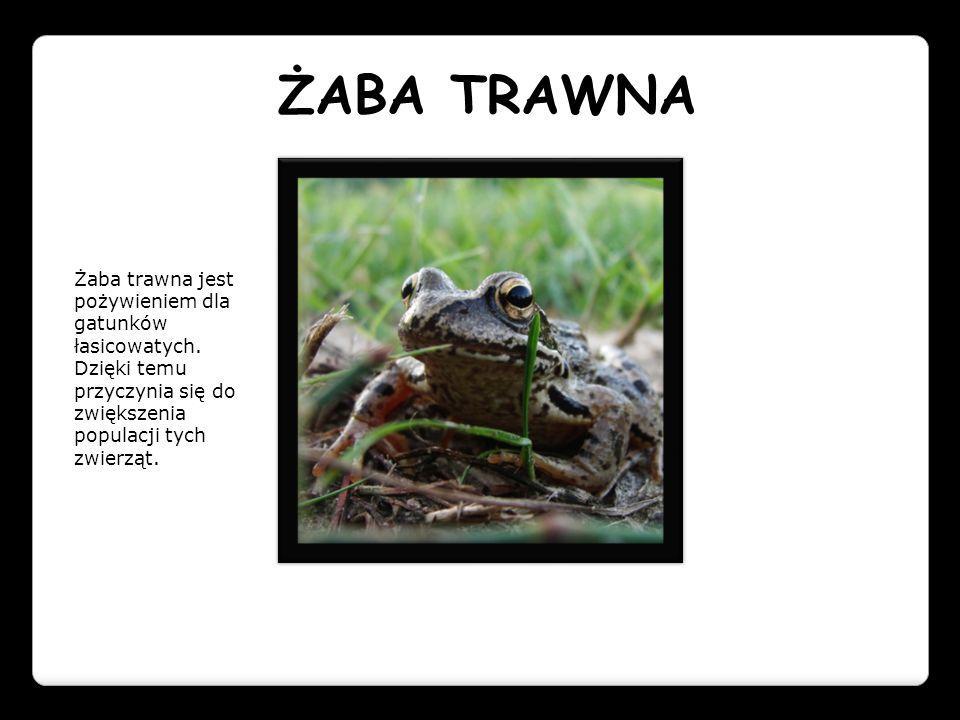 ŻABA TRAWNA Żaba trawna jest pożywieniem dla gatunków łasicowatych.