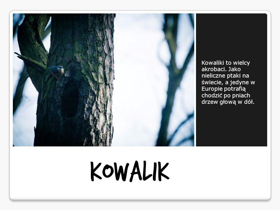 Kowaliki to wielcy akrobaci