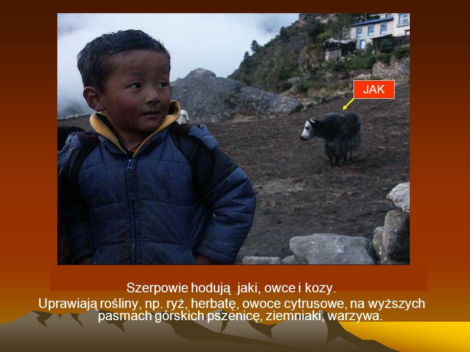 Szerpowie hodują jaki, owce i kozy.