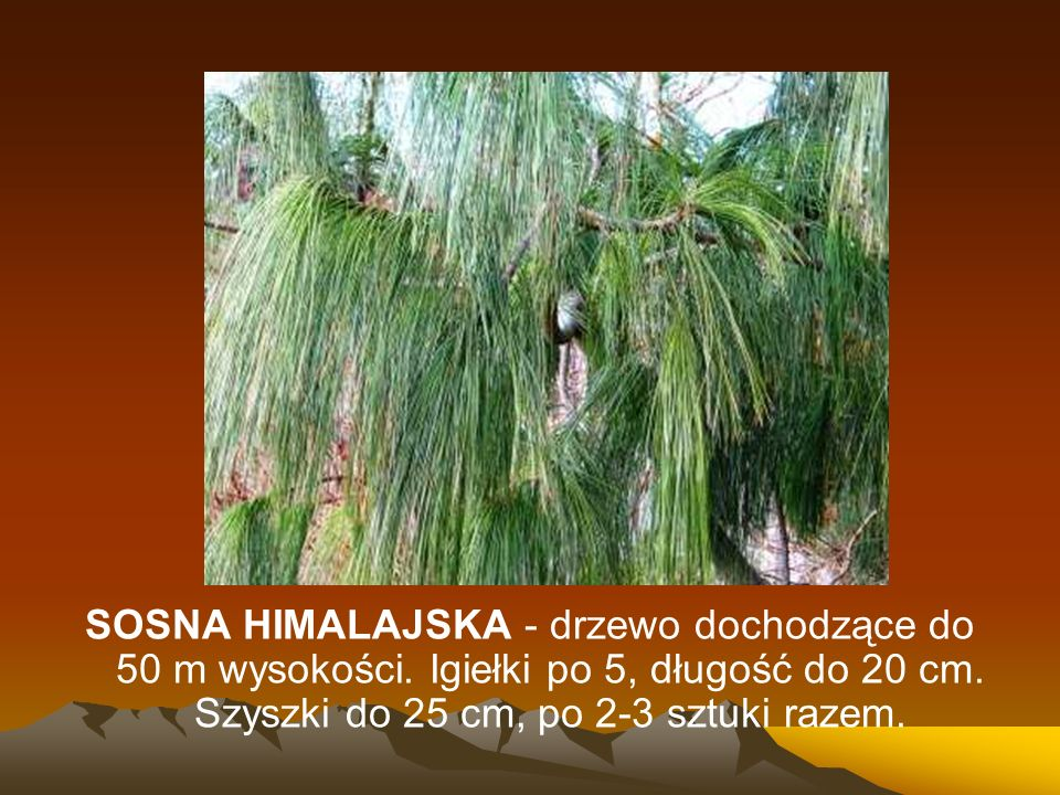 SOSNA HIMALAJSKA - drzewo dochodzące do 50 m wysokości