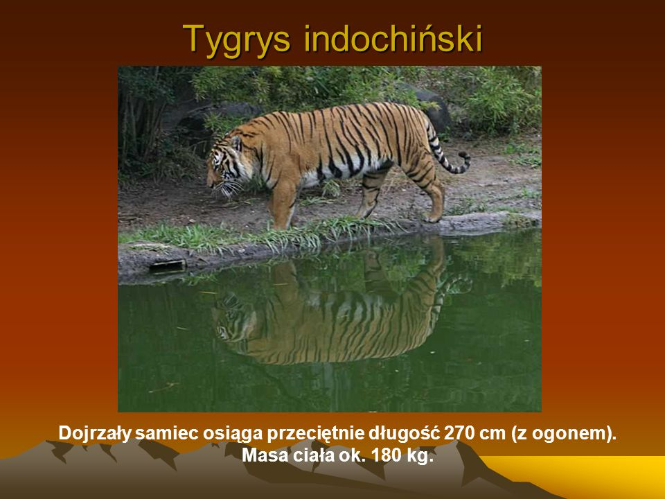 Dojrzały samiec osiąga przeciętnie długość 270 cm (z ogonem).