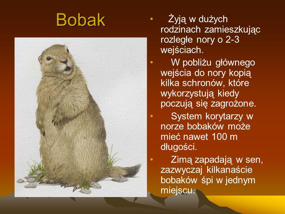 Bobak Żyją w dużych rodzinach zamieszkując rozległe nory o 2-3 wejściach.